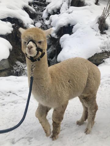 Winterwanderung in Tirol mit Alpakas