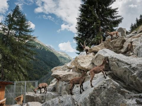 Tiroler Steinbockzentrum Gehege