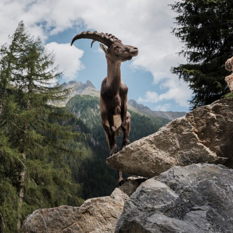 Begehbares Gehege im Tiroler Steinbockzentrum