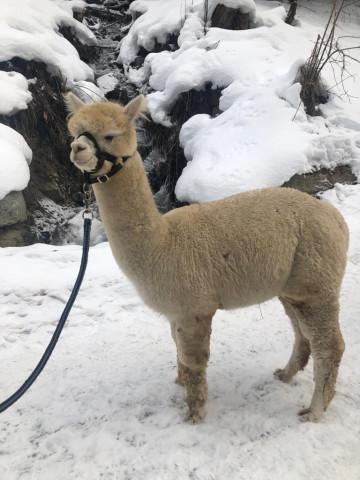 Wanderung mit Alpakas durch die Winterlandschaft