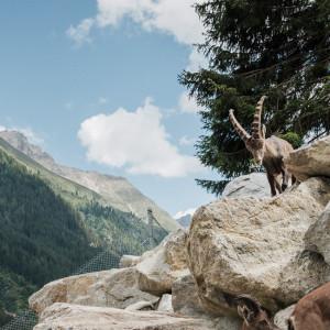 Tiroler Steinbockzentrum im Pitztal in Tirol