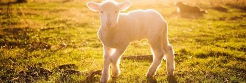 Schafabtrieb und Schaferfest in Hairlach