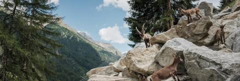 Tyrol Alpine Ibex Centre